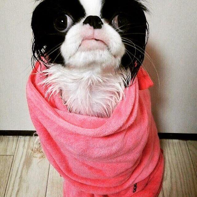お風呂上がりはこの世の終わりみたいな顔になります… #狆 #japanesechin #chin#愛犬 #dog #ぶさかわ犬 #お風呂上がり #バスタイム #風呂嫌いな犬