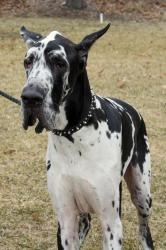 Leo is an adoptable Great Dane Dog in Waterville, OH. Leo is a 4 yr old neutered male Harlequin Great Dane. He is current on all of his vaccinations. He is good with other dogs and cats....