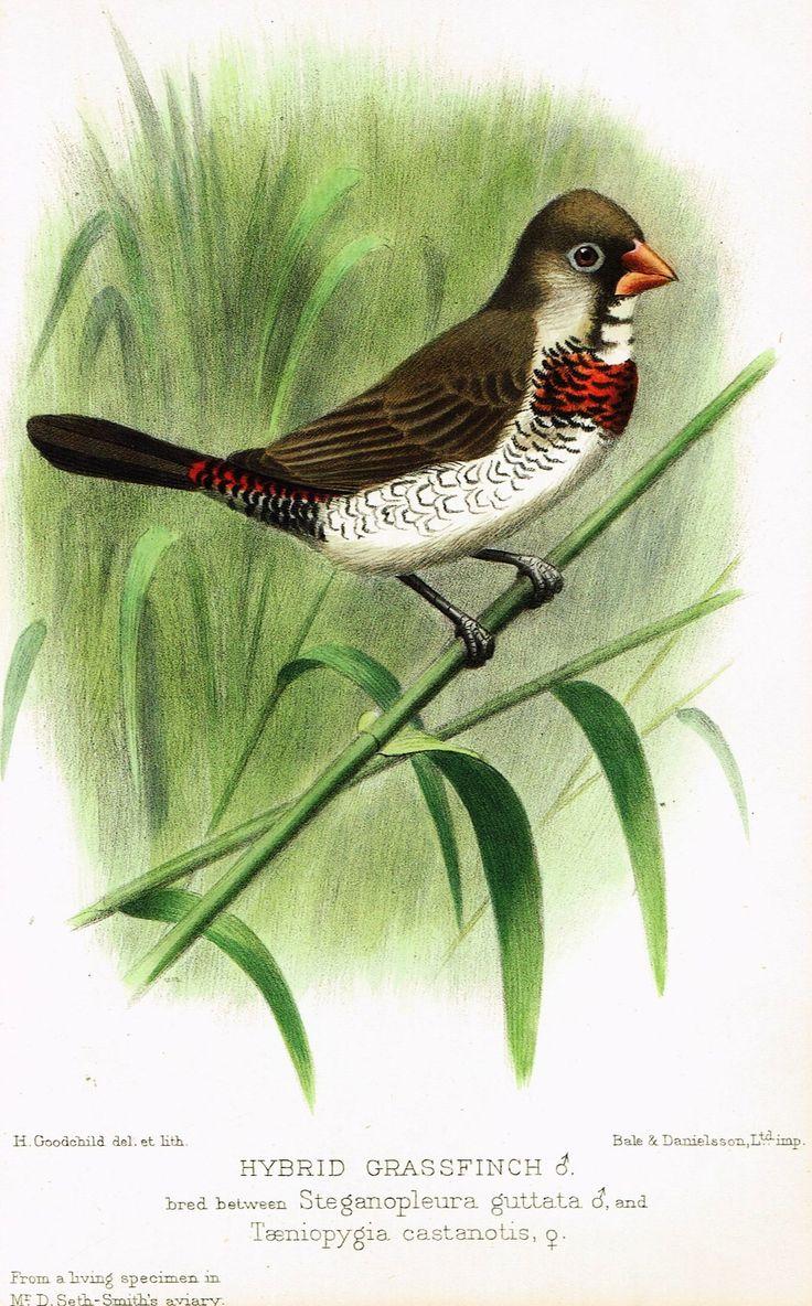 "Seth-Smith's Avicultural Magazine - Birds - ""HYBRID GRASSFINCH"" - Chromolithograph - 1906"