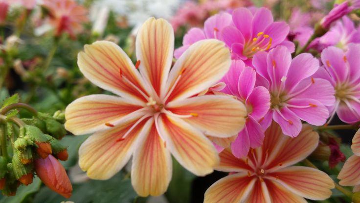 Lewisia, pianta perenne con fioritura Maggio -Giugno. Vivaio Fiorista Casalunga, Montecchio Emilia.