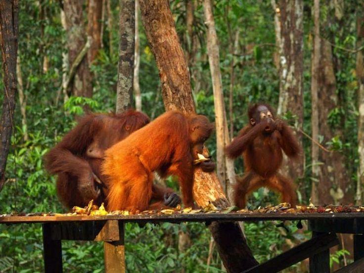 Tanjung Puting  Parque Nacional Tanjung Puting en la Isla de Borneo es ideal para hacer ecoturismo, excursiones en barco, conocer la flora y la fauna (algunas de las especies son los orangutanes, los leopardos y los cocodrilos) y hacer senderismo.