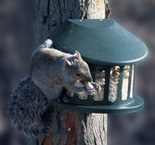 75590 Metal Squirrel Feeder Metal squirrel feeder. Holds peanuts, corn or large seed perfect for squirrels and birds. Durable chew resistant powder coated body. Removable easy to clean body. hardware included for fast mounting to tree post or deck.