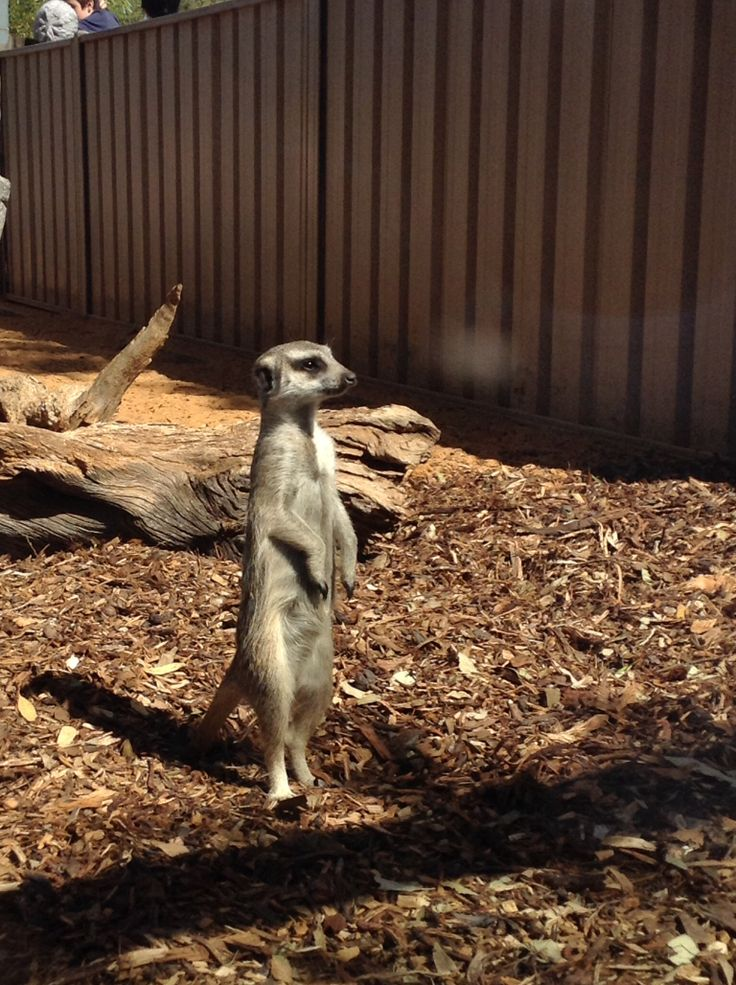 Meerkats Monarto Zoo