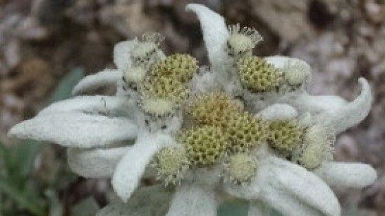 La coltivazione ibrida della Stella Alpina, specie ultraprotetta, è consentita. Dai preparati che si ricavano da queste piante effetti anti-aging,