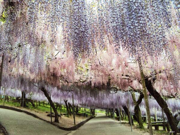 Wisteria Tunnel: Η μαγική ''Χώρα των Θαυμάτων'' στην Ιαπωνία με τα πανέμορφα μωβ & λευκά λουλούδια σε υπέροχα κλικς | eirinika.gr