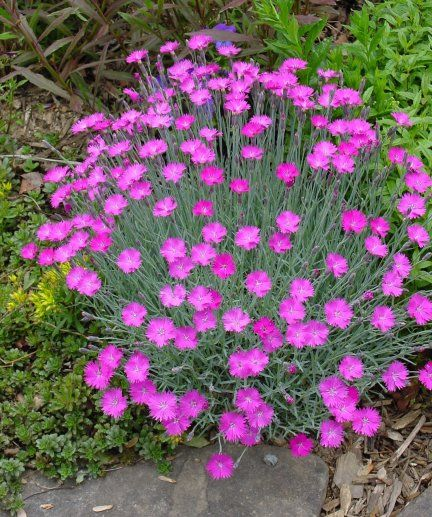 Purple perennial ground cover edge or as a small for Small flowering shrubs for full sun