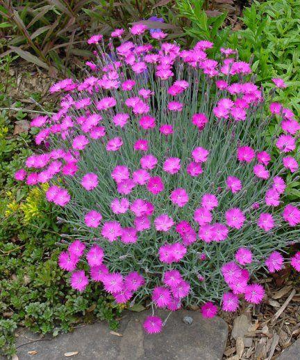 Purple perennial ground cover edge or as a small for Pink flower perennial ground cover