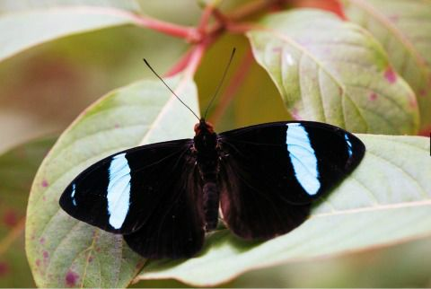 olive wing butterfly