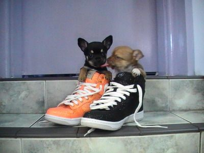 These are pictures of my chihuahua puppies :) They are all my photos! :D free website hit counter...