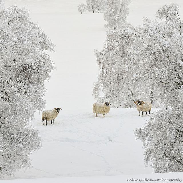 Sheep Paparazzi Shot - Cairngorms, Scotland by cedric_g, via Flickr