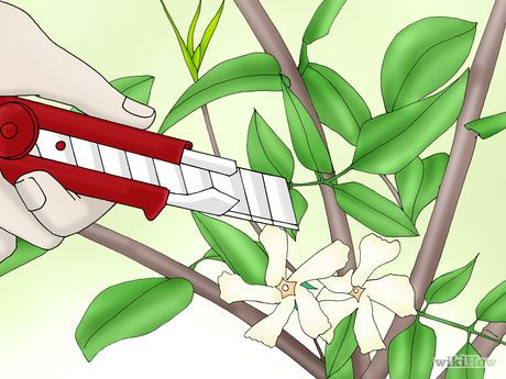 Plant Confederate Jasmine Step 1 Version 2.jpg