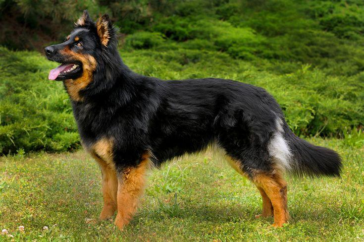 Tsekinpaimenkoira – Wikipedia on Pinterest | Discover the best trending Shepherd Czech ideas and ...