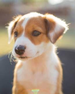 Border Collie Pups (Purebred) | Dogs & Puppies | Gumtree Australia Dalby Area - Dalby | 1170238550