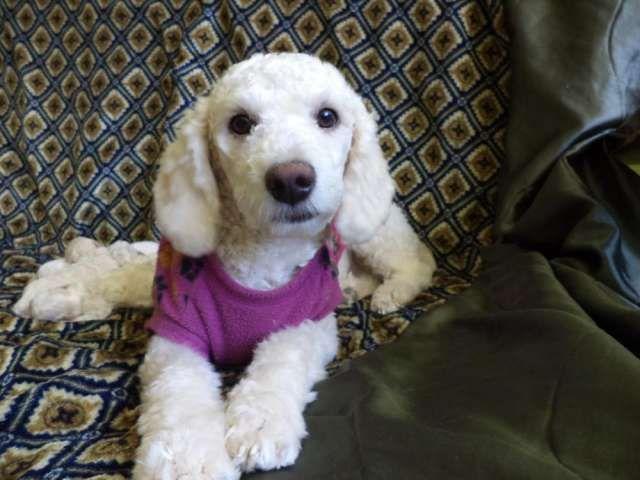 Resultado de imagen para perros french poodle mini toy recien nacidos
