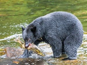 An American black bear salmon fishingWhile on an Alaskan cruise my wife chose an excursion where we flew by float plane from Ketchikan to Neets Bay in the Tongas National Forest to hopefully see some 'wild' black bears in their natural habitat salmon fishing. We were not disappointed Photograph: JennerTaylor/GuardianWitness