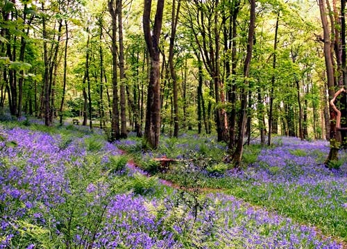 Bluebell wood, Grasmere. Shot by Martin Lawrence. #nature, #photography