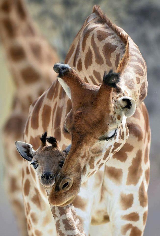Giraffes by Jean-Francois Monier