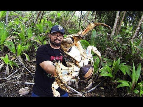 Holy Crab! Christmas Island Tourist Mark Pierrot Pictured with Giant Coc...