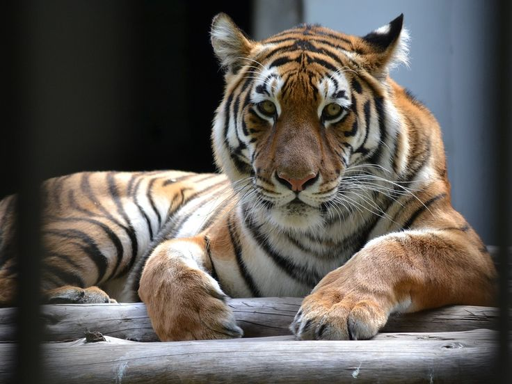 Tell LSU That Caged Tigers Don't Belong on the Sidelines!