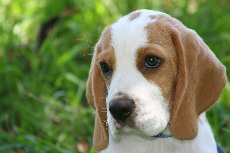 Beagle   beagle-16 - Já Sabia Mulher
