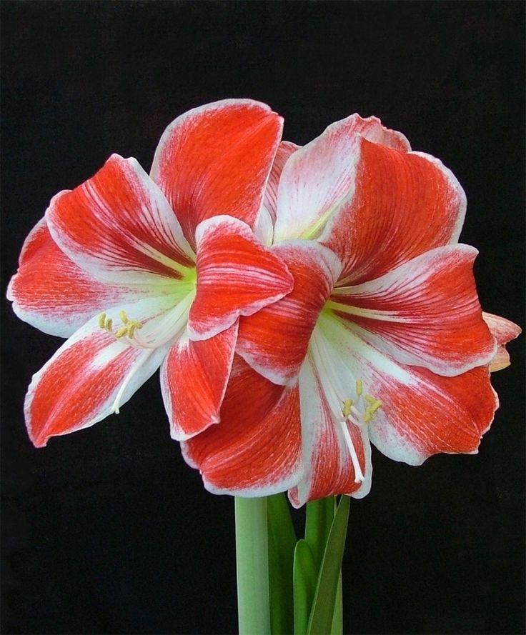 572 best amaryllis flowers images on pinterest for Amaryllis christmas decoration