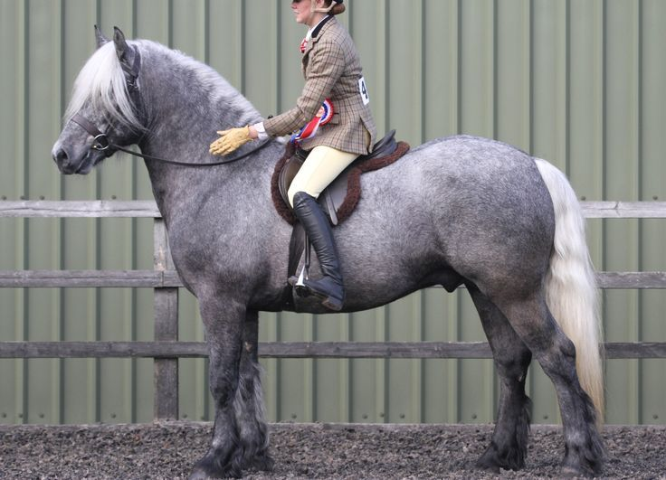 Highland pony can be used for riding and in harness.