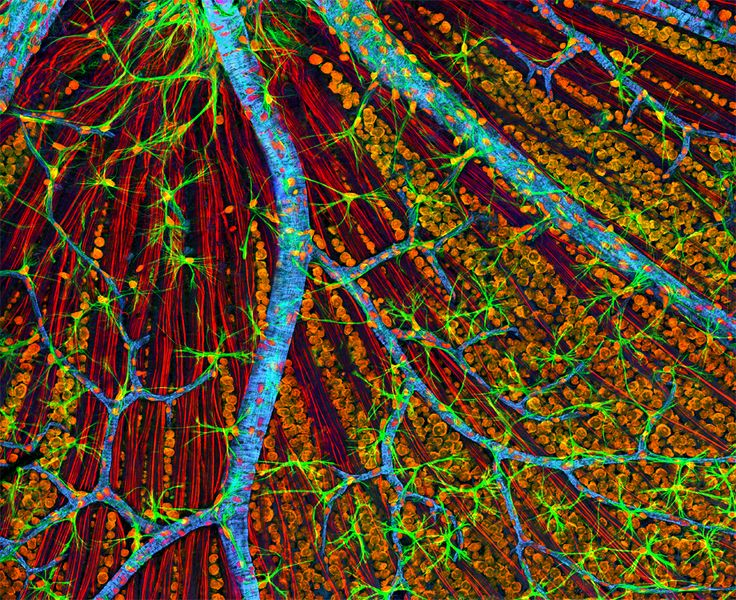 Quadruple fluorescence image of the mouse retina, showing optic nerve axons and glia stained red and green, respectively, actin in endothelial cells of the blood vessel walls stained blue and nucleic acids stained orange. By Thomas Deerinck/ NCMIR/ Cell.