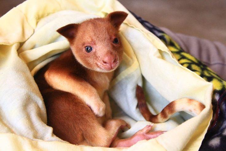 """""""Storia a lieto fine per 3 canguri"""". Prima apparizione pubblica dei cuccioli  """"adottati"""" da una nuova mamma nello zoo di Adelaide.  #AdelaideZoo #zoo #Adelaide #Guardianidellozoo  #kangaroo #canguri"""