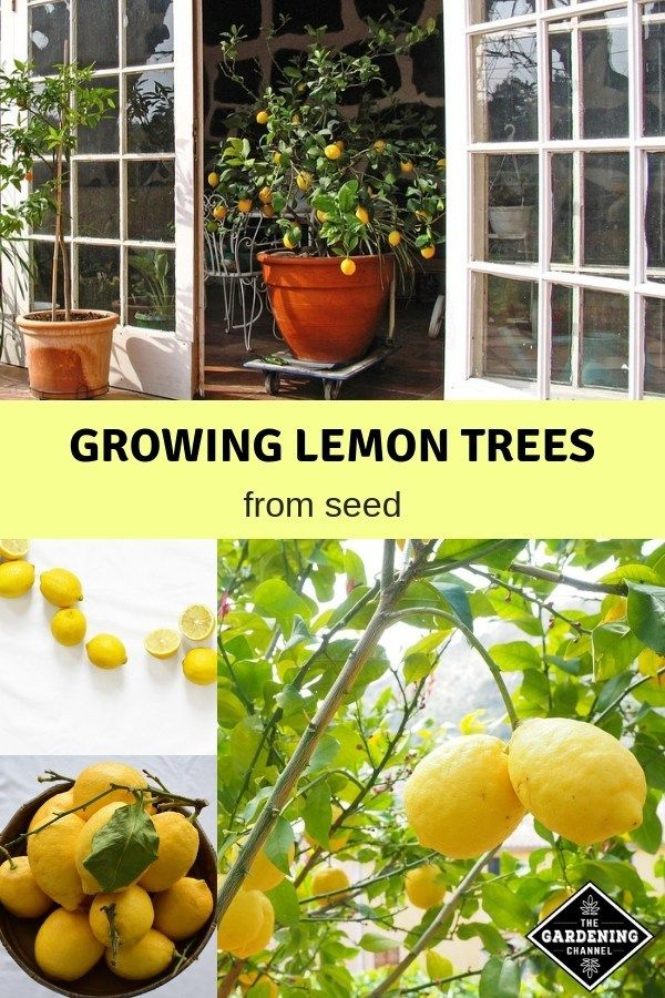 How To Grow Lemon Trees From Seed With Images Lemon Tree From