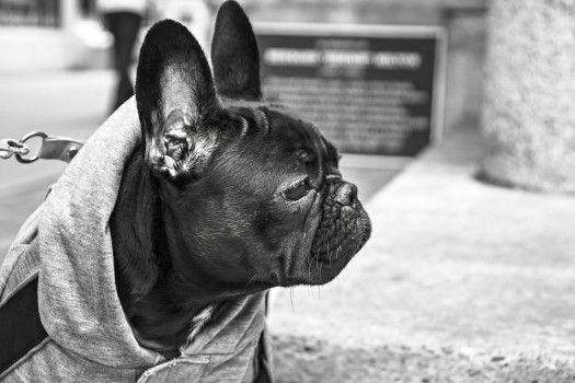 Animal, Black-and-white, Bulldog, Dog