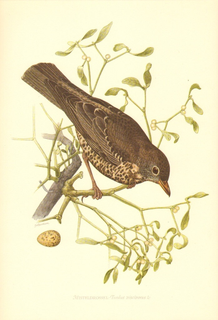 1953 Mistle Thrush Vintage Offset Lithograph to Frame. $16.95, via Etsy.