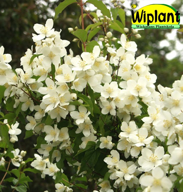 Philadelpus lew. 'Tähtisilmä', Praktschermin. FinE-sort. Vita doftande blommor. Höjd: 2 m.