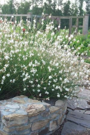 Gaura Whirling Butterflies WAND FLOWER Snow white, starry-white ...