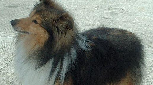 Celtic Canines - Top ten Irish dog breeds (PHOTOS) - IrishCentral.com