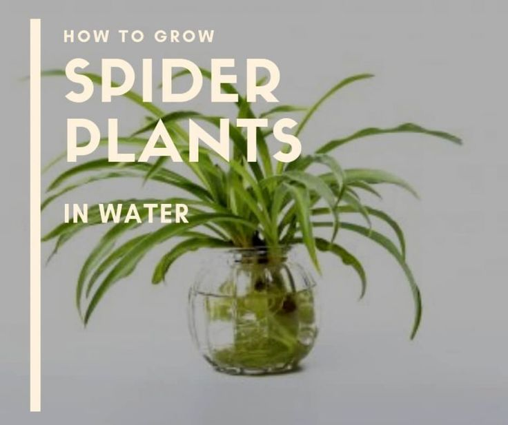 Growing A Spider Plant: How To Grow Spider Plants In Water