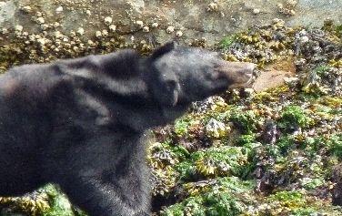 Beach bear!