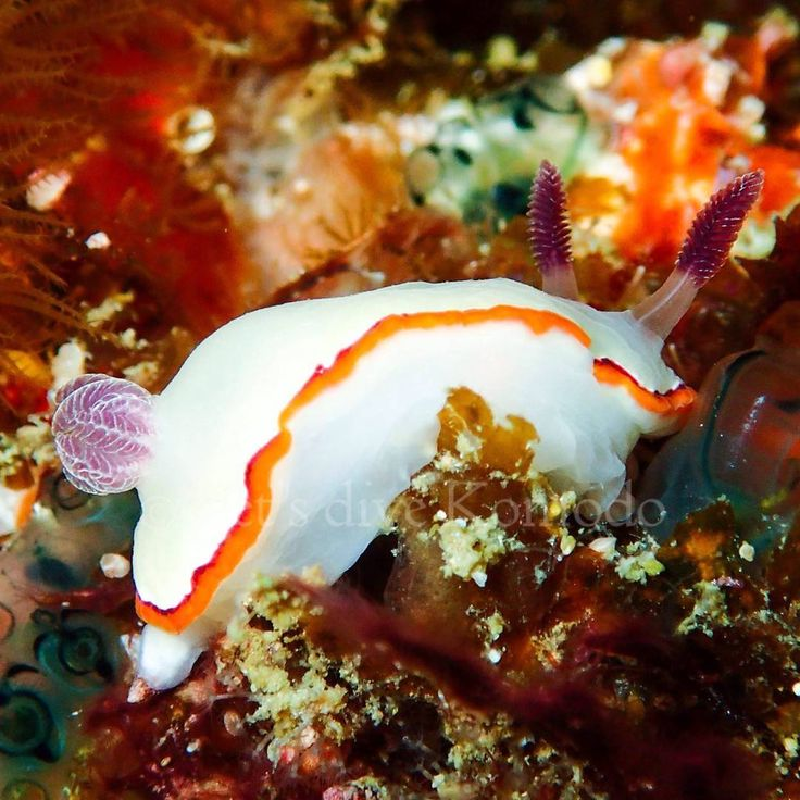 Nudibranch - exploring Molo Strait #indonesia #flores #komodo #labuanbajo #nudibranch #macro #colors #beauty #scuba #livetoscuba #scubadiving #macro_captures #underwaterphotography #olympus #paditv #scubashootersundays #travel #holiday #backpacker #explore #molostrait #instapic #exploreindonesia #instadaily #instadive #nofilter