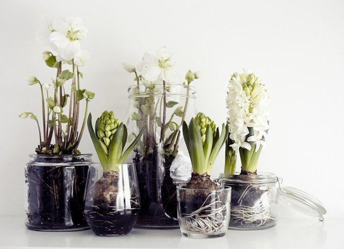 Weg met de klassieke kerststukjes! Glazen potten en vazen vullen met witte helleborus en hyacinten!