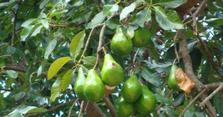Cómo forzar a los árboles de paltas a que den frutos. Una palta es un árbol tropical originario de Sudamérica. La fruta tiene una distintiva cáscara de color verde tipo cuero con una carne mantecosa que tiene un ligero sabor a nuez. Los frutos de las paltas tienen un carozo que es, más o menos, del tamaño de un huevo. Cuando se lo planta, crece un nuevo árbol. Para que una palta llegue a su madurez y ...