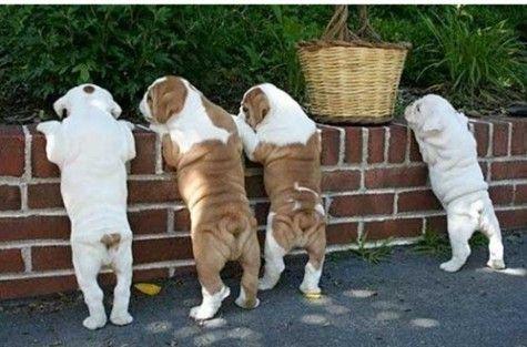 ( ・ิω・ิ)Bullying, Heart, Bulldog Puppies, Friends, English Bulldogs Puppies, Gift Cards, British Bulldogs, Animal, Bull Dogs