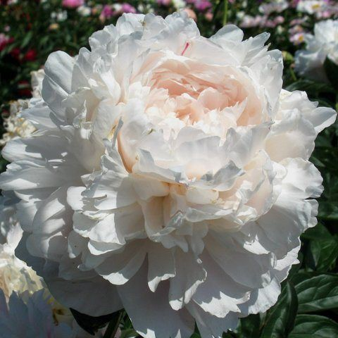 Suppliers for Paeonia lactiflora 'Dinner Plate' (Peony)
