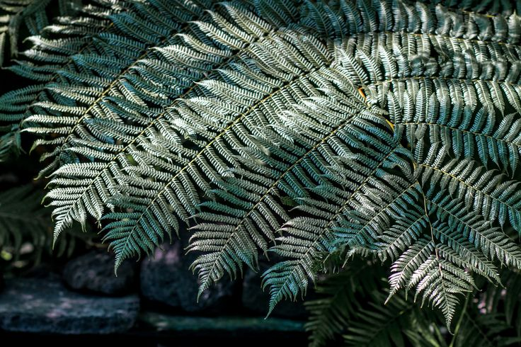 https://flic.kr/p/QpWVkY | Fern, Como Park Zoo and Conservatory, St. Paul