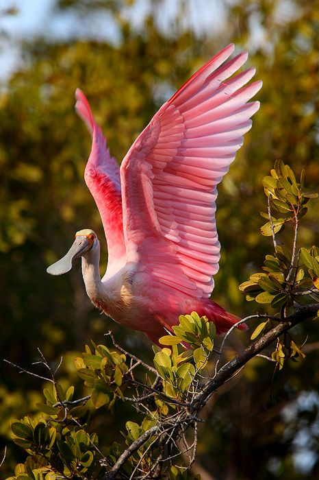Nate Zeman. A Beautiful Roseate Spoonbill takes off from the mangrove it had spent most of the day sleeping in. The bizzare bill that gives this bird its name is used to strain small food items out of the water.