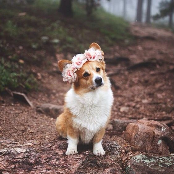 Corgi + Flower crowns