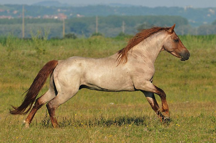 78 best images about All Strawberry Roan Horses! on ... - photo#24