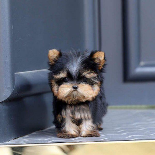 Available Puppies Teacup Yorkie Paradise In 2020 Teacup Yorkie Yorkie Puppies