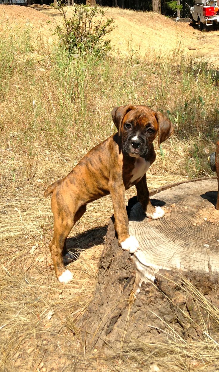 Brindle Boxer puppy. Perfect amount of white!