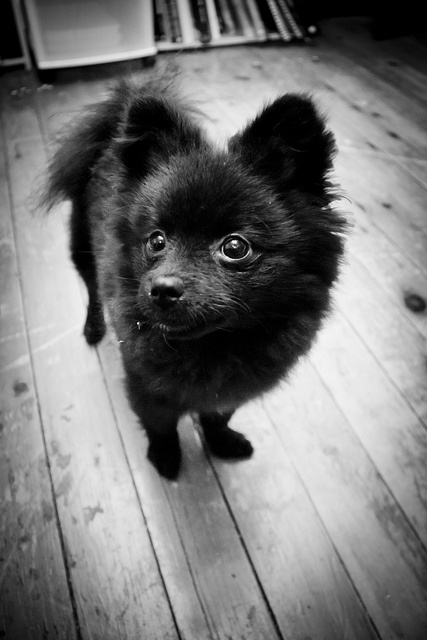 Black Pomeranian puppy...just adding this to the pet want list.