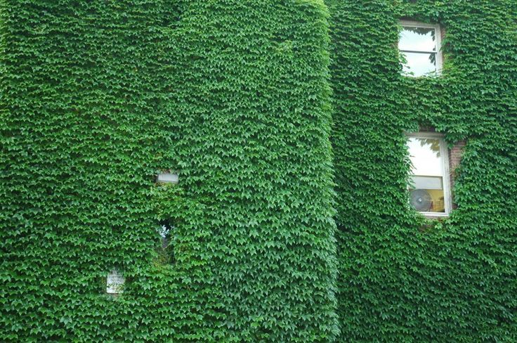 ivy on one wall