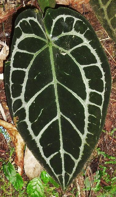 Anthurium crystallinum by jjrestrepoa (busy), via Flickr